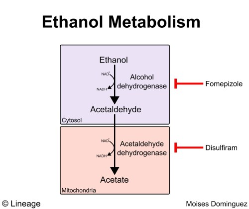 small resolution of ethanol metabolism presence of decreased nad levels play a major role in altered metabolism
